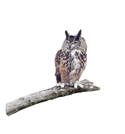 Great Horned Owl perched on a branch isolated on white background Stock Photo - 115209352