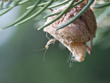 newly hatched baby Praying mantis on its nest