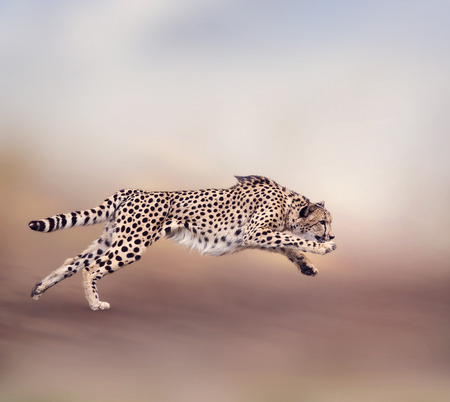 Image of running cheetah 스톡 콘텐츠