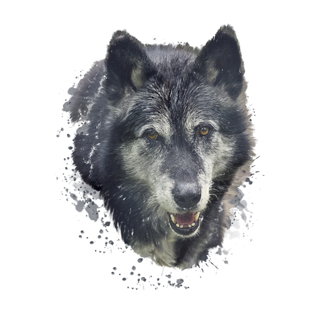 Digital Painting of Timber Wolf .Watercolor illustration on white background