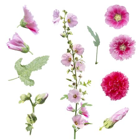 set of hollyhock flowers , leaves and buds  isolated on white background Zdjęcie Seryjne