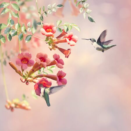 ruby throated hummingbirds feed on nectar from a trumpet vine