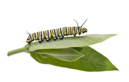 Oruga monarca en hojas de algodoncillo aislado sobre fondo blanco.
