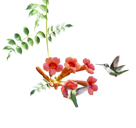 ruby throated hummingbirds feed on nectar from a trumpet vine on white background