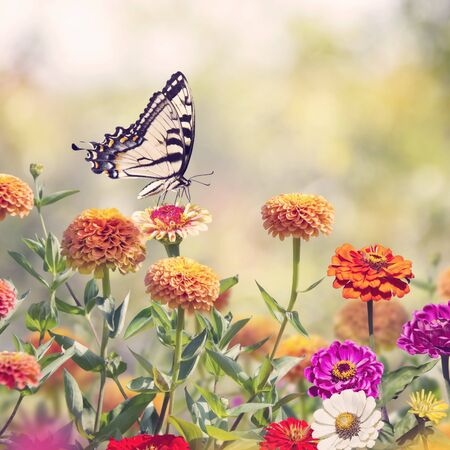 Swallowtail butterfly feeds on colorful zinnia flowers