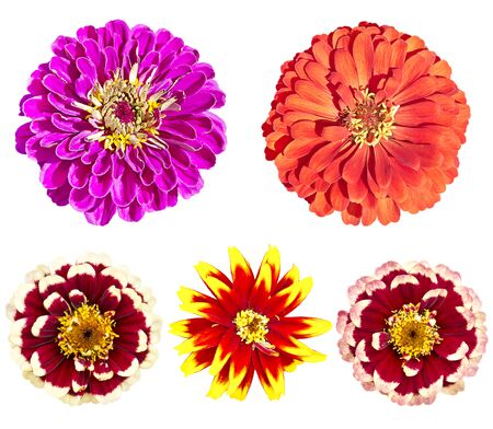 Beautiful colorful zinnia elegans flowers in bloom isolated on white background
