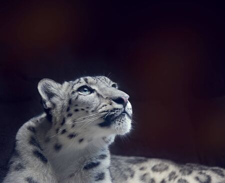 Young Snow leopard portrait close up on dark background