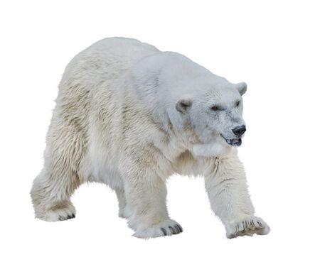 Large Polar bear isolated on white background