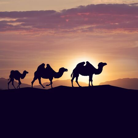 camels silhouettes in dunes at sunset