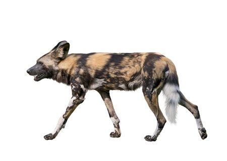 African wild dog isolated on white background,  also known as African hunting or African painted dog