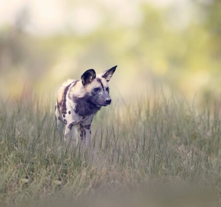 African wild dog   also known as African hunting or African painted dog