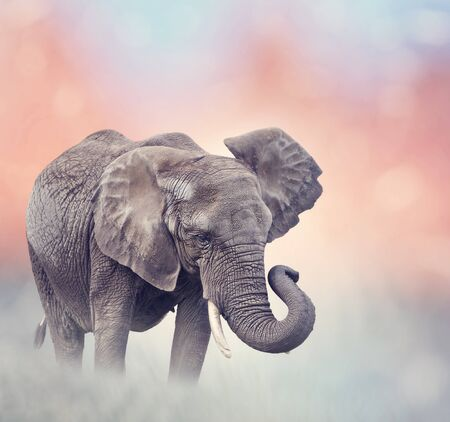 African Elephant walking in the grassland at sunset