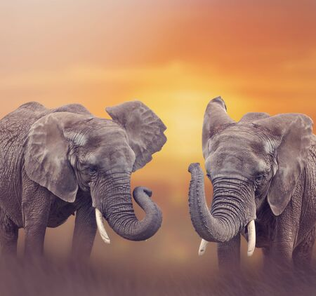 African Elephants walking in the grassland at sunset
