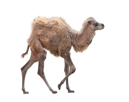 Baby Camel with two humps , Bactrian camel isolated  on white background Zdjęcie Seryjne