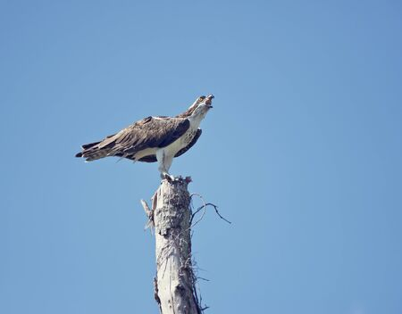 osprey eating fish on a old tree