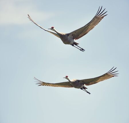 two sandhill cranes in flight against the sky