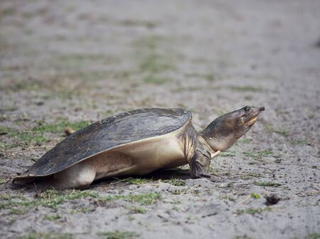 Florida Softshell Turtle digging a hole to lay its eggs in Florida wetlands