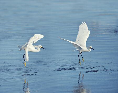 Snowy Egrets in flight over lake in Florida