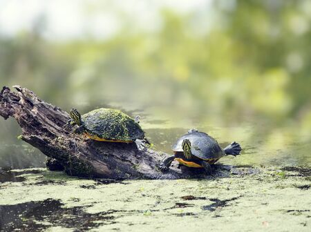 Two Florida turtles sunning in wetlands