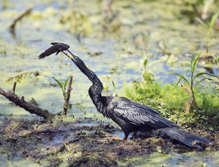 Anhinga downing a fish in the swamp in Florida