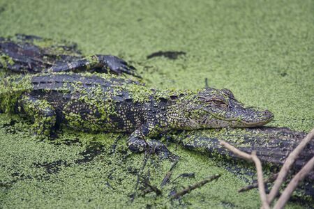Young alligator resting on a log in Florida swamp