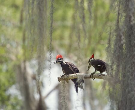 Two young Pileated Woodpeckers on a branch in Florida wetlands Stockfoto