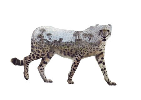 Double exposure of walking cheetah on white background