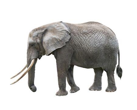 Afrikanischer Elefant isoliert auf weißem Hintergrund
