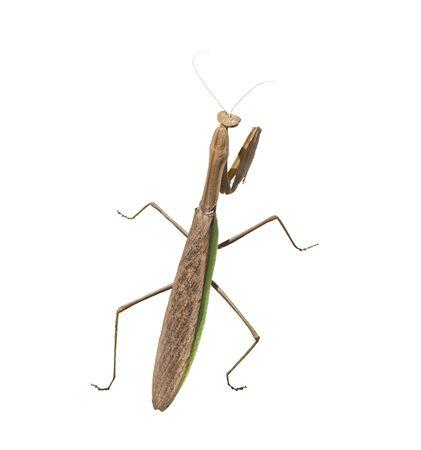 large praying mantis isolated on  white background