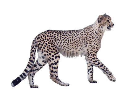 guepardo caminando aislado sobre fondo blanco