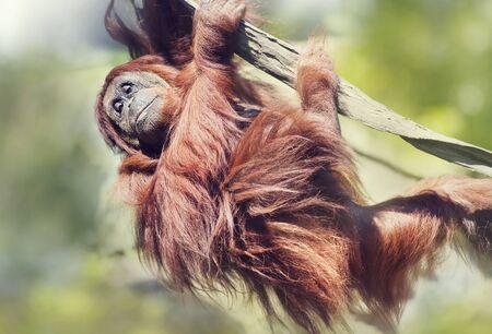 Young Orangutan on the tree.