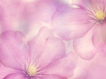 Pink Clematis flowers close up for background