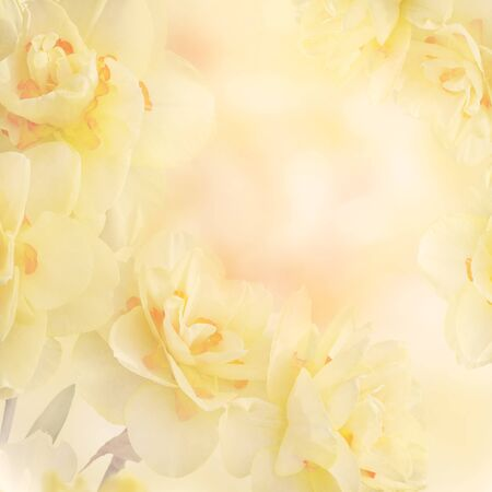 Yellow Daffodil Narcissus Flowers Abstract Background 版權商用圖片