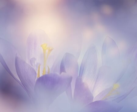 Abstract Floral background with Crocus Spring Flowers