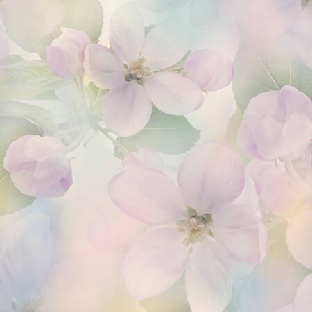Pink Apple Tree Flowers close up for Background 版權商用圖片