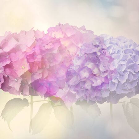 Abstract colorful hydrangea flowers for background,soft focus