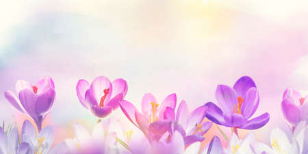 Floral background with Crocus Spring Flowers 写真素材