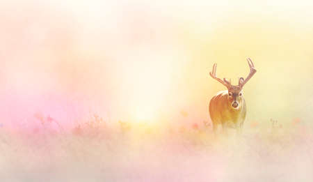 Male deer in tall yellow grass in the sunlight. 写真素材