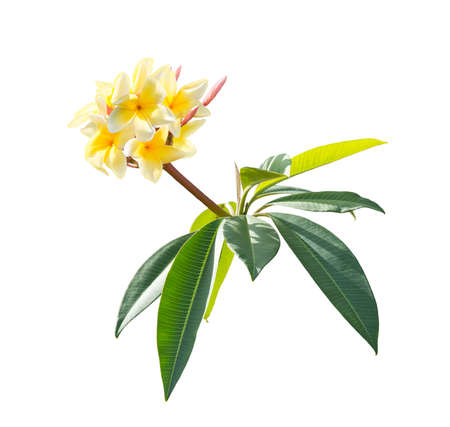 Yellow Plumeria flowers on a branch isolated on white background. 写真素材