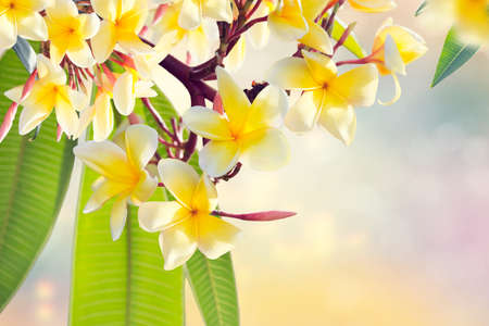 Yellow Plumeria flowers on a branch . Beautifull Floral background.