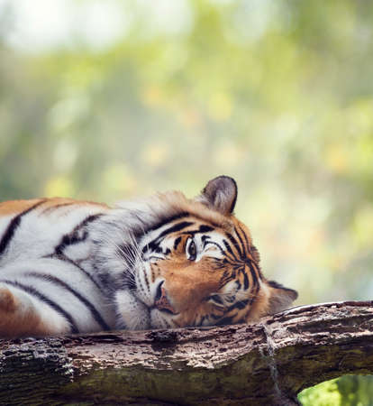 Bengal tiger resting on a tree. Wild animals.