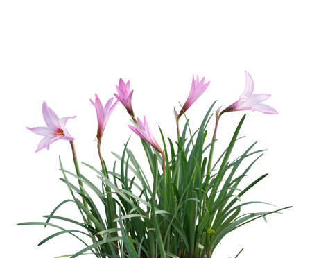 Pink rain Lily (Zephyranthes rosea) Flowers isolated on white background 写真素材