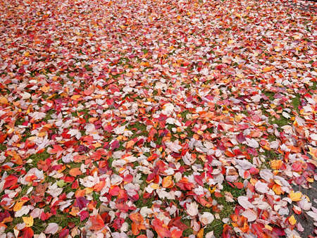 Colorful Autumn  leaves  on lawn 写真素材