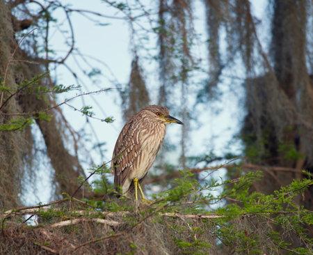 Night Heron Juvenile perching in Florida wetlands