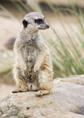 vigilant: A meerkat standing upright and looking alert