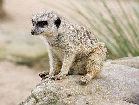 curiously: A Meerkat looking curiously