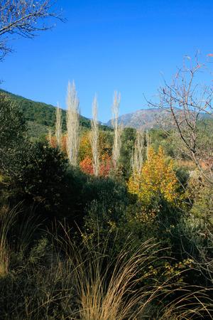arbol alamo: Álamo, Turquía, Akcay, Árboles de Colorfull