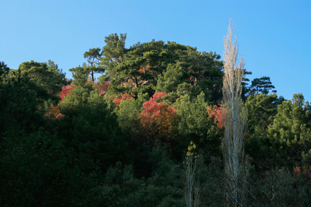 arbol alamo: Poplar Tree, Turkey, Akcay, Colorfull Trees Foto de archivo