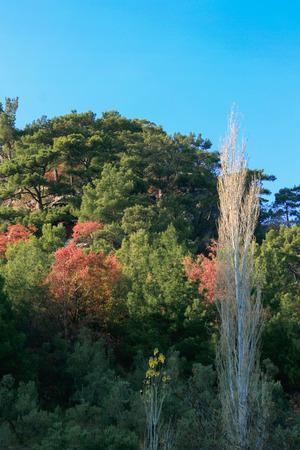 Poplar Tree, Turkey, Akcay, Colorfull Trees Stock Photo