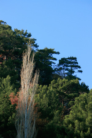 arbol alamo: Poplar Tree, Turkey, Akcay, Green, Mountain Foto de archivo